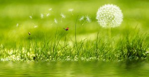 dandelion on meadow-2225250_640.jpg
